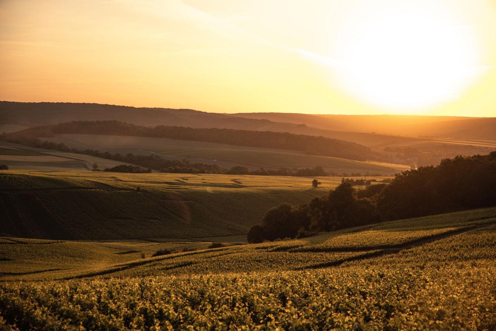 Dessin de Morgan, vigneron, Champagne William Saintot dans ses vignes